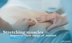 Stretching muscles improves their range of motion